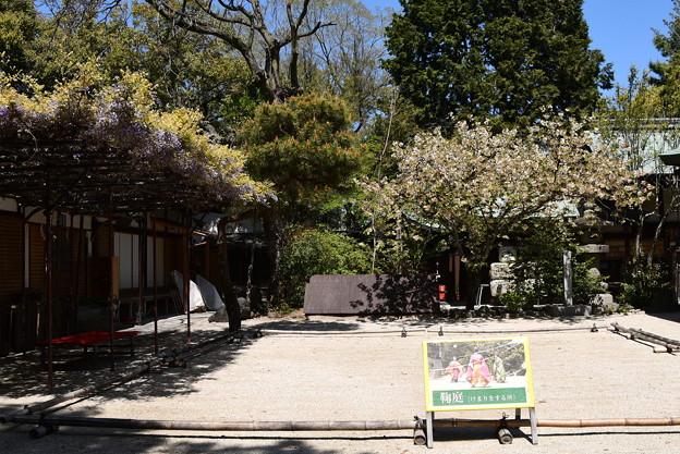 鬱金と藤咲く白峯神宮