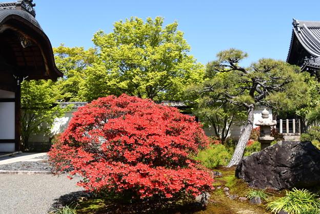 躑躅と新緑の妙覚寺