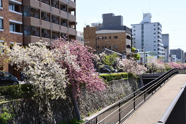 堀川の桜並木