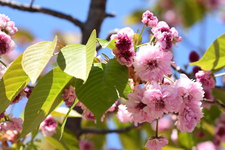 菊桜(キクザクラ)