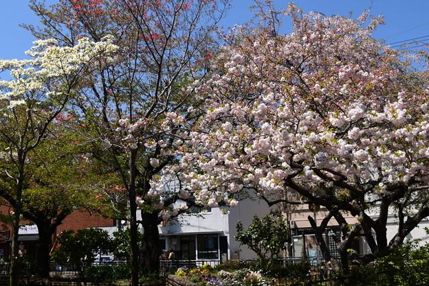 松月咲く新生さくら公園