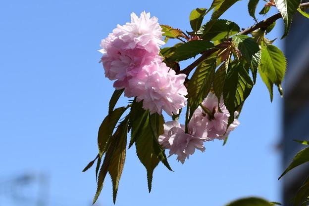 マンション脇の桜