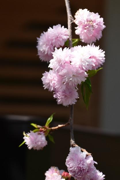 疎水沿いの桜