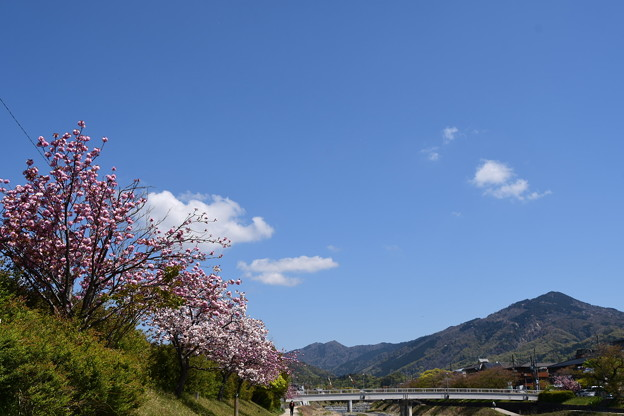 八重桜と比叡山