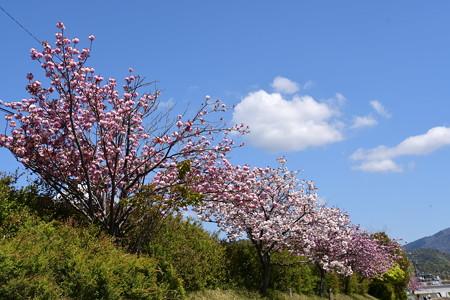 高野川の八重桜