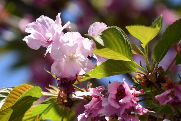 笹部桜(ササベザクラ)