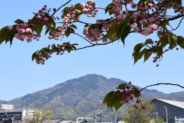 兼六園菊桜の下の比叡山