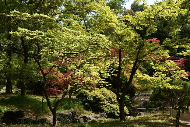 春もみじの紫陽花園