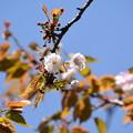 出水広場の奈良の八重桜(ナラノヤエザクラ)