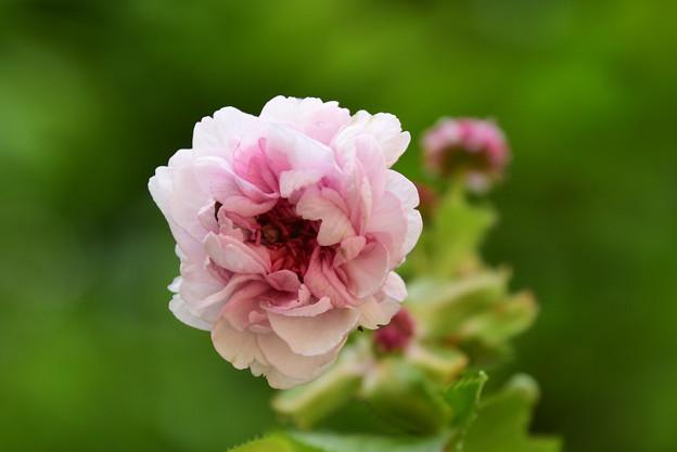 ナジマザクラ(名島桜)1