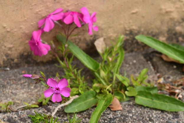 新種の菫~!?