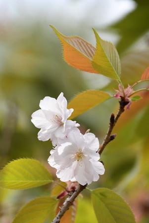 大沢桜(オオサワザクラ)