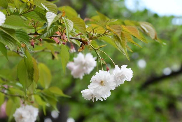 八天桜(ハッテンザクラ)