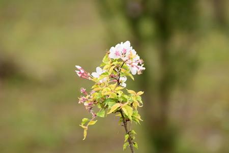 斑入り豆桜(フイリマメザクラ)