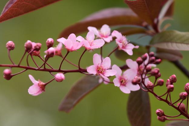 エゾノウワミズザクラ(蝦夷の上溝桜)1