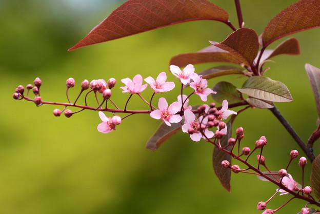 エゾノウワミズザクラ(蝦夷の上溝桜)2
