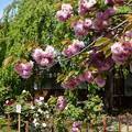 関山と牡丹咲く本満寺