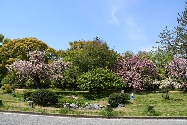 出水の小川脇の八重桜