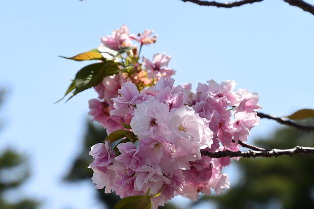 宮内庁寺務所の八重桜