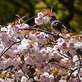 八重桜にやって来た椋鳥(ムクドリ)