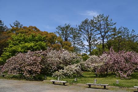 出水広場南の八重桜