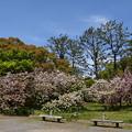 Photos: 出水広場南の八重桜