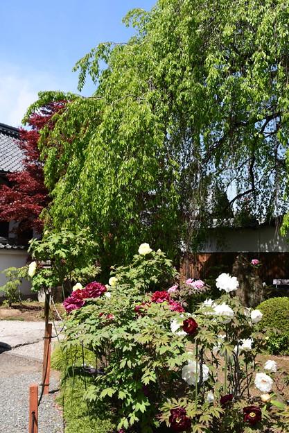 枝垂れ桜、春もみじと牡丹の本満寺