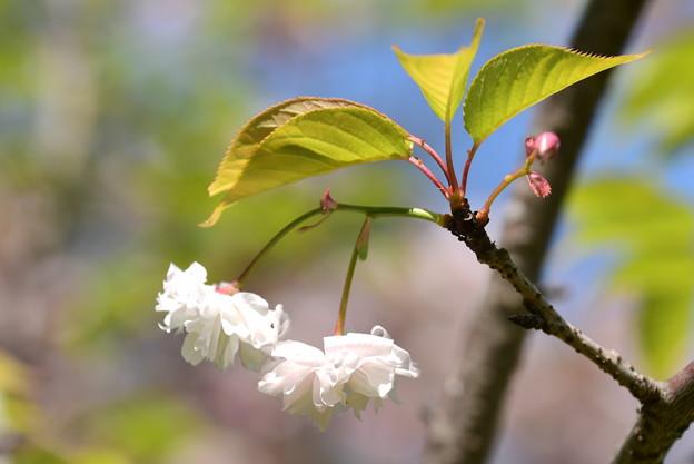 出水の小川脇の桜