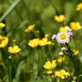 馬の足形の中に咲く春紫苑(ハルジオン)