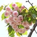 有栖川宮邸跡の菊桜