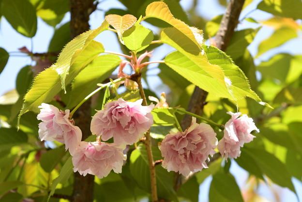 建礼門南の八重桜