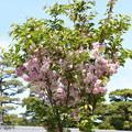 建礼門南の八重桜2
