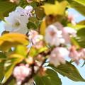 建礼門南の八重桜3