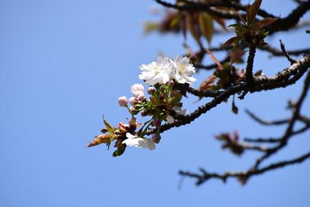 建礼門南の奈良の八重桜(ナラノヤエザクラ)