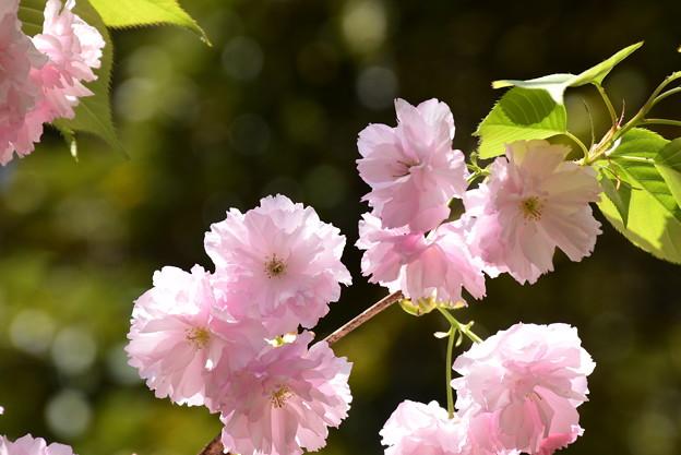 建礼門南の八重桜4