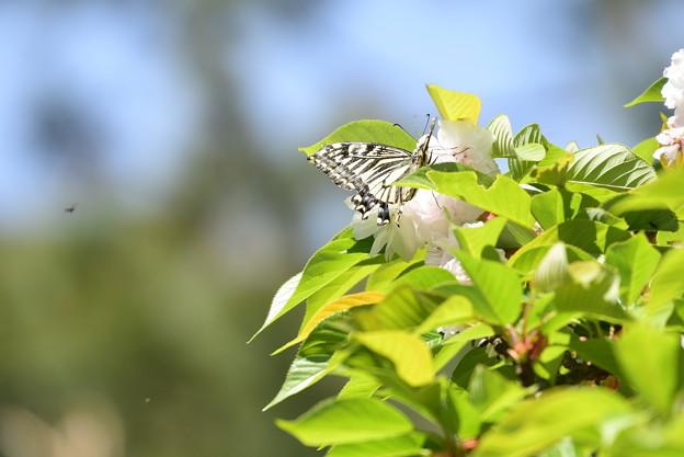 桜にやって来た揚羽(アゲハ)