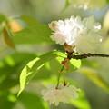 Photos: 京都迎賓館北側の桜3