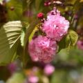 Photos: 鴨川公園の桜