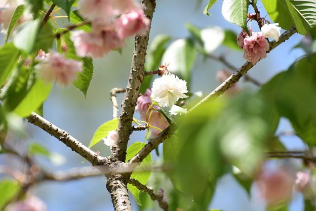 京都迎賓館北側の桜1