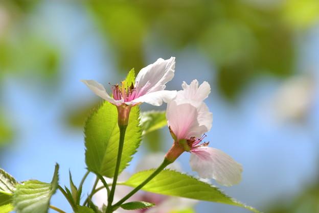 京都迎賓館北側の桜2
