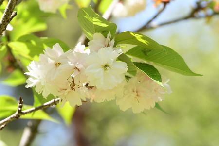 京都迎賓館北側の桜3