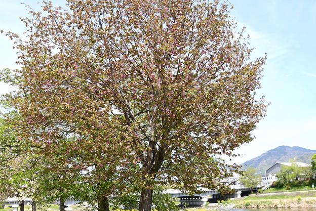 鴨川公園の桜