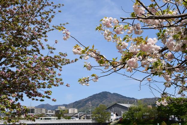 松月と兼六園菊桜の中の比叡山