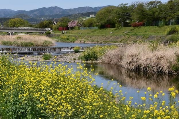菜の花の賀茂川