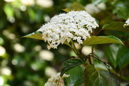 白山木(ハクサンボク)