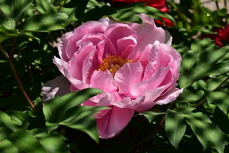 村松の桜(ムラマツノサクラ)