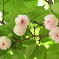 Photos: 兼六園菊桜(ケンロクエンキクザクラ)