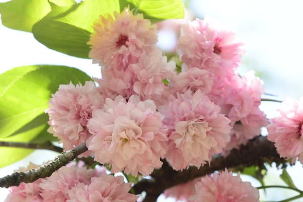 Photos: 菊桜(キクザクラ)