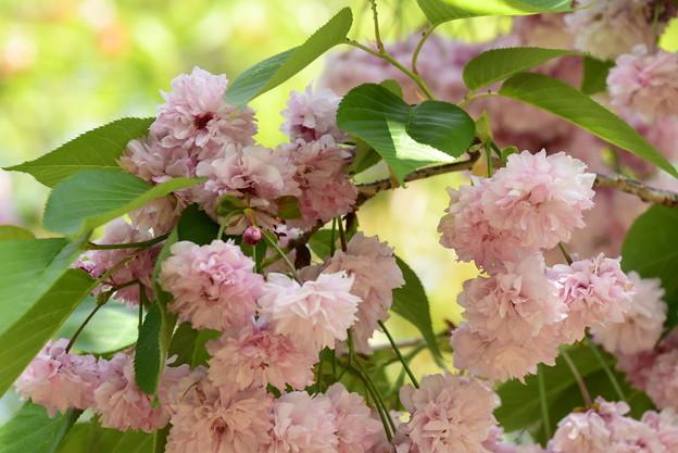 梅護寺数珠掛桜(バイゴジジュズカケザクラ)