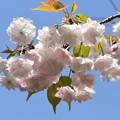 Photos: 渦桜(ウズザクラ)